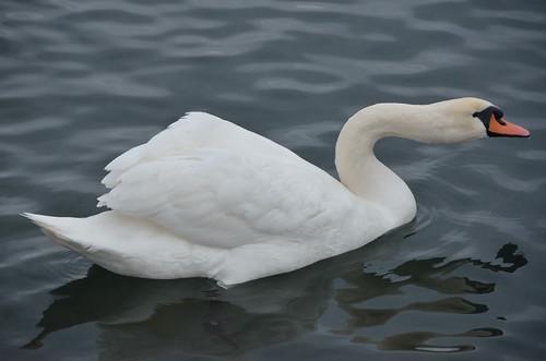 Swan <body>