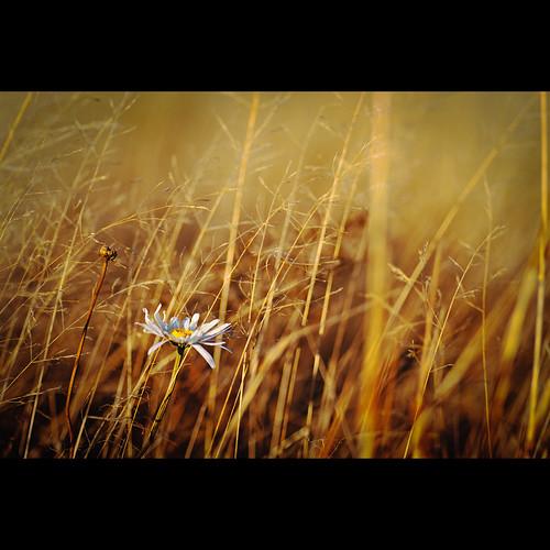 sunset white flower field grass yellow gold daisy aintgoodenoughforyou