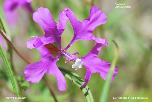 Pinkfairies, Ragged Robin, Deerhorn Clarkia, Beautiful Clarkia - Clarkia pulchella