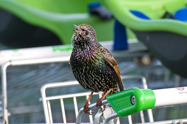 Starling (Sturnus vulgaris) Singing on a Shopping Trolley in Asda Car Park, Llanelli, South Wales