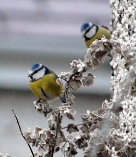 a pair of blue tits