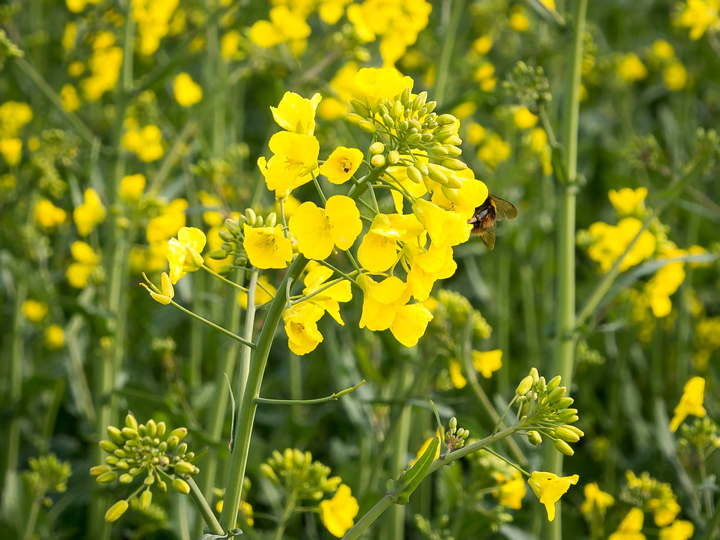 22 April 2014 - Unidentified species of bumblebee very busy in this oilseed-rape crop