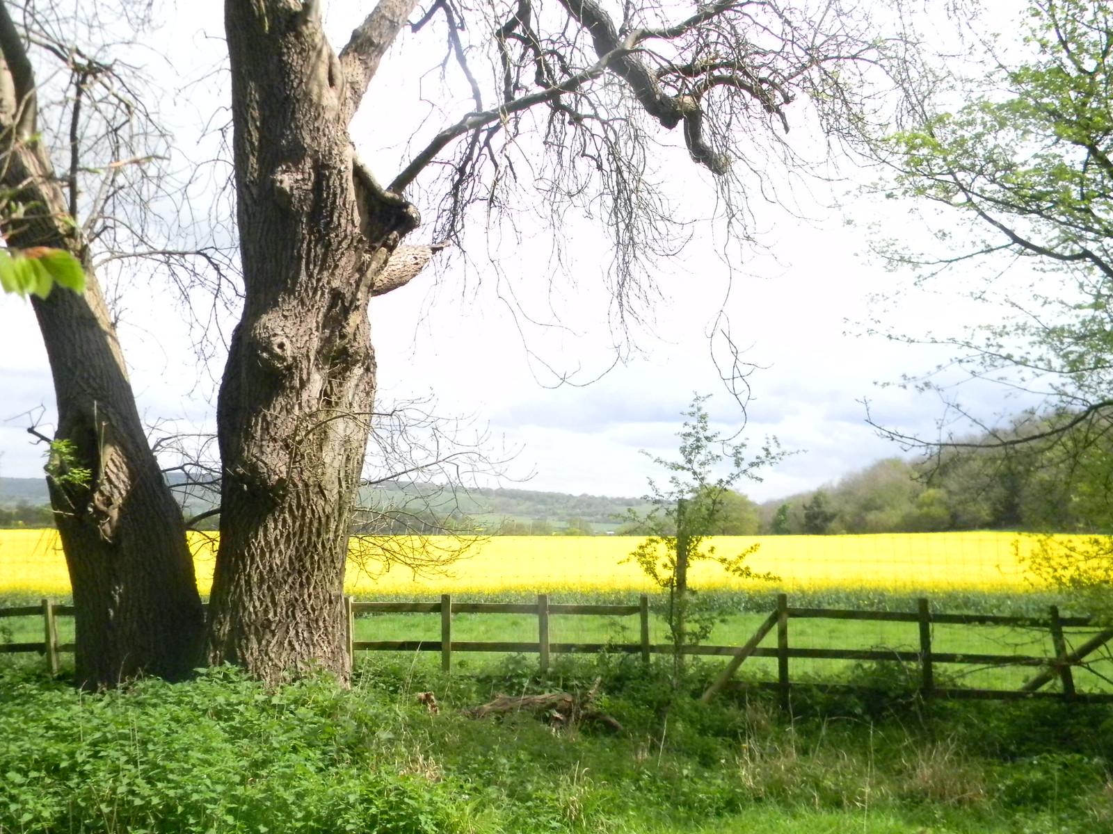 Tree with rapefield Tring to Berkhamsted