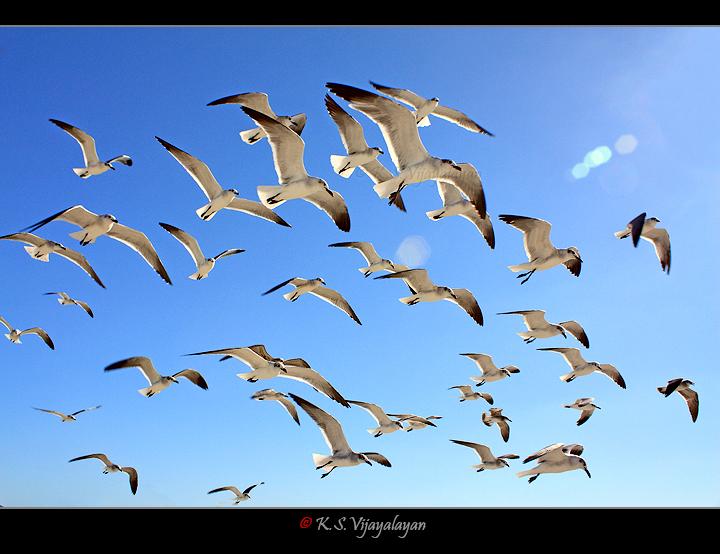 American Herring Gulls, USA