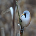 Male Bearded Tit looking for his mate