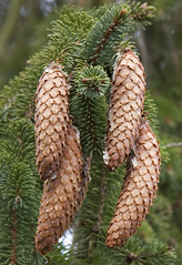 larch(1.0), branch(1.0), pine(1.0), leaf(1.0), tree(1.0), plant(1.0), conifer cone(1.0), fir(1.0), spruce(1.0),