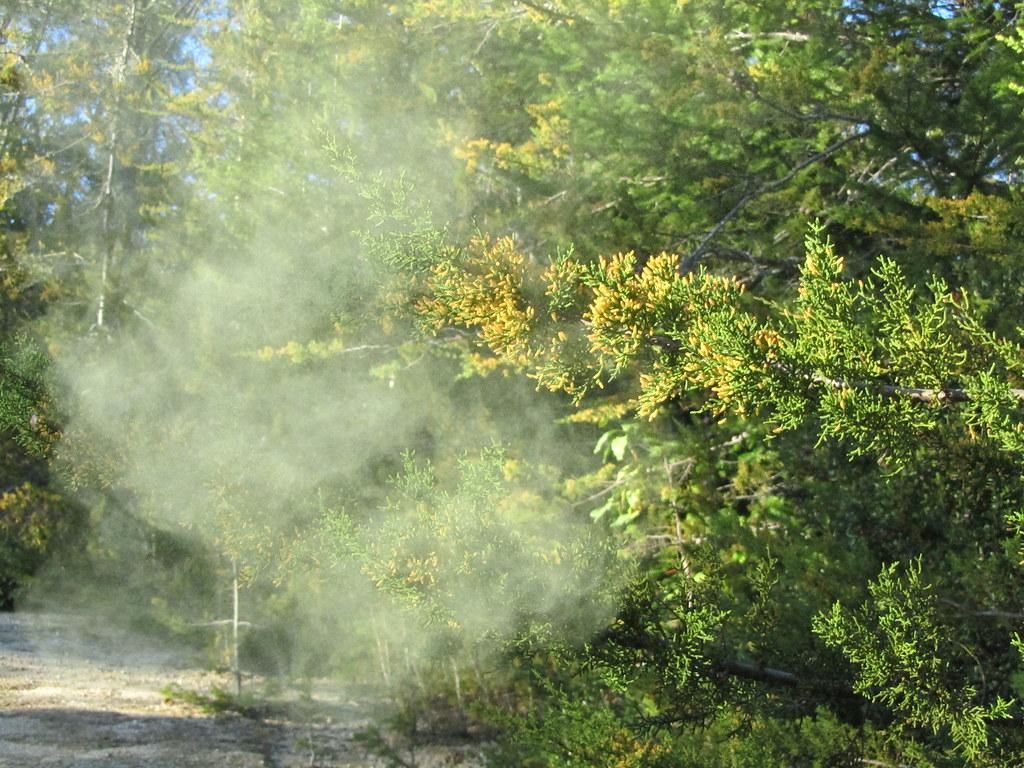Santa Cruz Cypress pollen release