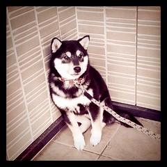 玄関でビビる柴犬ワンコ