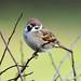 Tree sparrow by chapmankj75