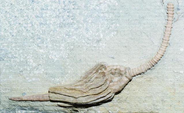 Macrocrinus mundulus, Macrocrinus, Batocrinidae, Monobathrida, Crinoidea, Echinodermata, Deuteriostomia, Bilatera, LOCALITY- Montgomery Country - Indiana - USA, CARBONIFERO,