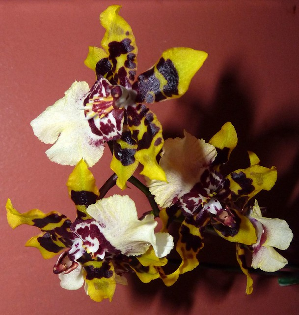 Odontocidium Wildcat 'Yellow Butterfly' orchid hybrid Yellow Butterfly Orchid