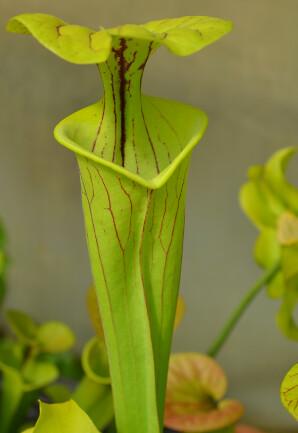 Photo Plantes--carnivors ( Sarracenia ) 14006808214_1a9388153c