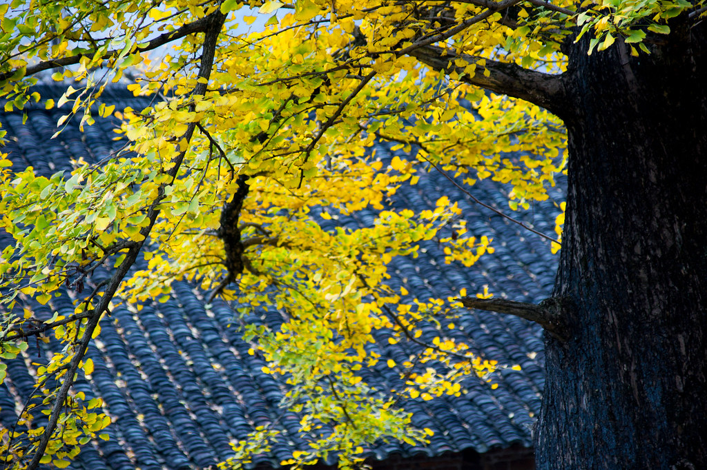 Chinese Ginkgo Tree Is a Symbol of Autumn And Long Life