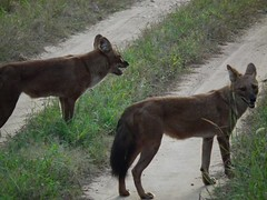 czechoslovakian wolfdog(0.0), gray wolf(0.0), pet(0.0), street dog(0.0), belgian shepherd malinois(0.0), lycaon pictus(0.0), saarloos wolfdog(0.0), animal(1.0), dingo(1.0), dog(1.0), red wolf(1.0), mammal(1.0), fauna(1.0), wolfdog(1.0), dhole(1.0),
