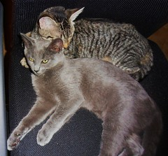 animal, small to medium-sized cats, pet, european shorthair, pixie-bob, oriental shorthair, chartreux, cat, korat, carnivoran, whiskers, ocicat, russian blue, domestic short-haired cat,