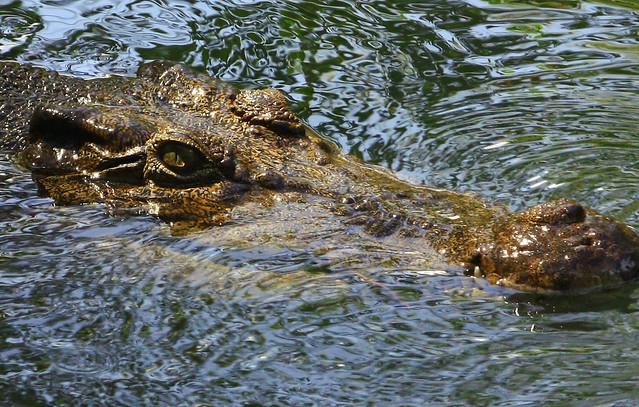 Smile Crocodile