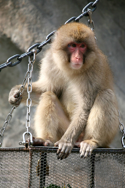 Japanese Macaque - 07
