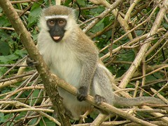 squirrel monkey(0.0), animal(1.0), monkey(1.0), mammal(1.0), fauna(1.0), old world monkey(1.0), new world monkey(1.0), macaque(1.0), wildlife(1.0),