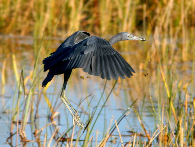 Little Blue Heron adult 20101221