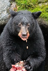 Fat, happy, and full of salmon roe, Anan Wildlife Observatory, Wrangell, Alaska