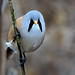 Male Bearded Tit head-on