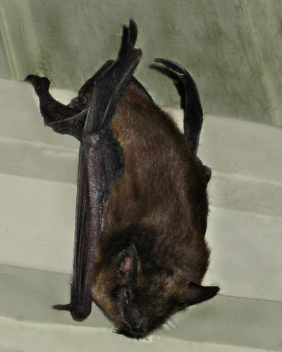 Vespertilionidae : Myotis lucifugus - Little Brown Bat