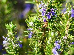 hyssopus(0.0), evergreen(0.0), shrub(1.0), flower(1.0), rosemary(1.0), plant(1.0), lilac(1.0), wildflower(1.0), flora(1.0), meadow(1.0),