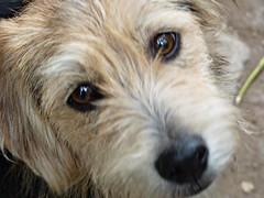poodle crossbreed(0.0), dandie dinmont terrier(0.0), lakeland terrier(0.0), dog breed(1.0), animal(1.0), dog(1.0), schnoodle(1.0), petit basset griffon vendã©en(1.0), pet(1.0), norfolk terrier(1.0), otterhound(1.0), glen of imaal terrier(1.0), mammal(1.0), spinone italiano(1.0), catalan sheepdog(1.0), sapsali(1.0), irish soft-coated wheaten terrier(1.0), cockapoo(1.0), goldendoodle(1.0), terrier(1.0),