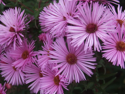 SYMPHYOTRICHUM novae-angliae 'Mrs S T Wright'