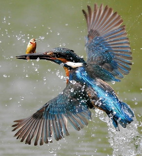 Kingfisher&it's Food(fish)