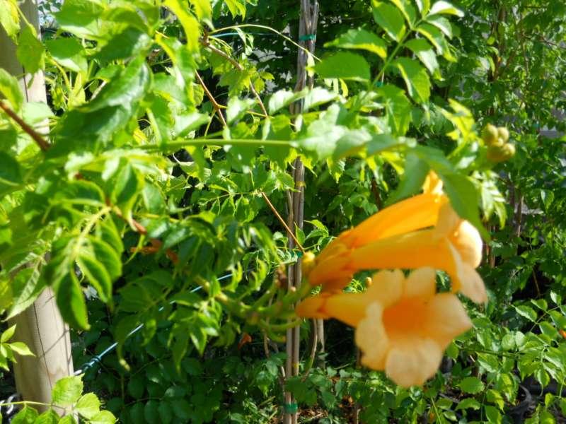 Bignonia campsis radicans 'Flava' 2