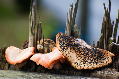 Branched oyster fungus