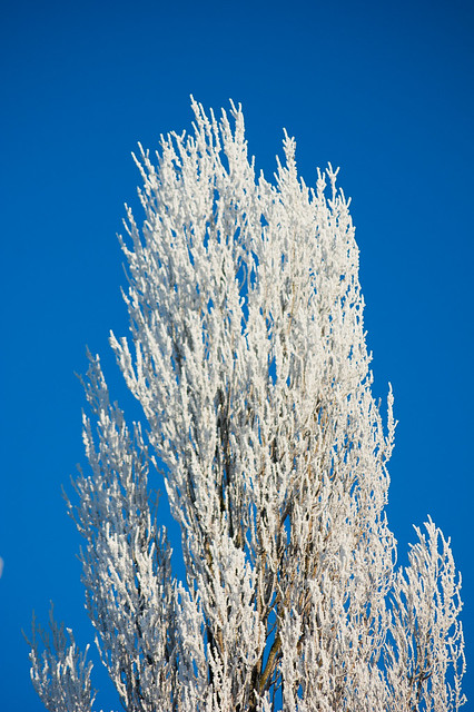 Frosted poplar