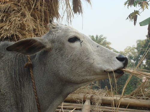 Cow consumes the wastes of a crop harvest in West Bengal