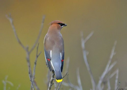 Waxwing on bared treetop