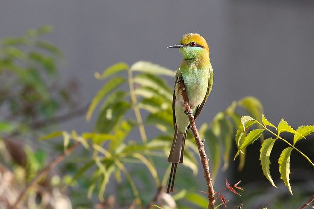 Green bee eater [Canon 1000D XS REBEL][Canon 70 200 F4 L]