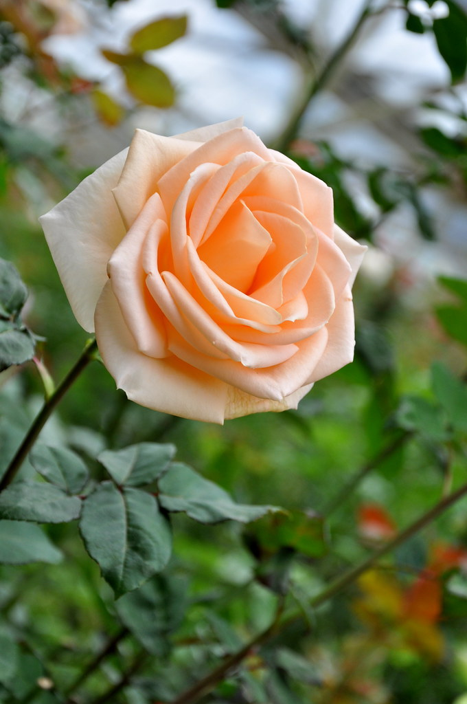Baby Orange Rose 橙玫瑰 ...