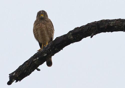 Roadside Hawk (Buteo magnirostris) - Vägvråk