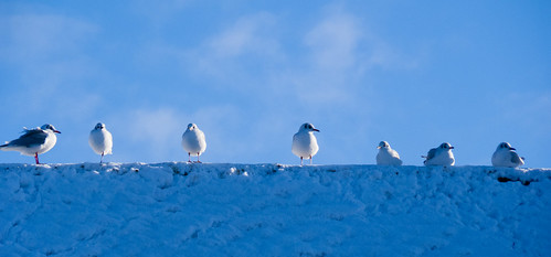 Black-headed gulls on a snowy roof