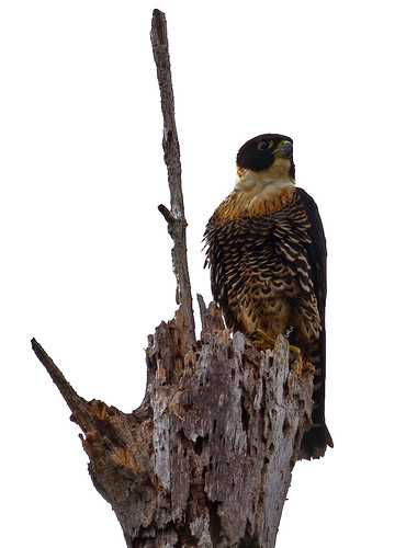 Orange-breasted Falcon (Falco deiroleucus) - Orangebröstad falk
