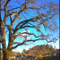 Big Tree outside Solage