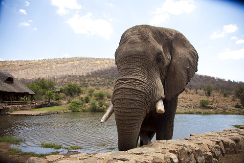 Elephant at Pilanesberg Nature Reserve next to Sun City