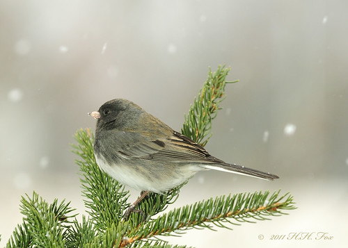 ~ ~ ~      Dark-Eyed Junco ~ ~ ~