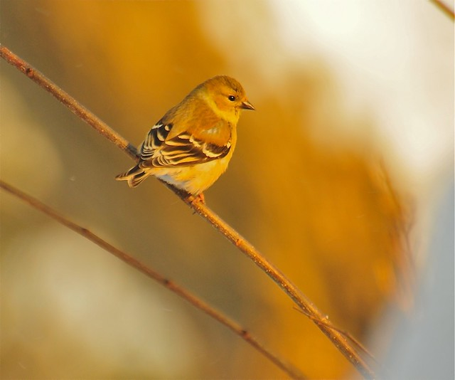 Goldfinch in winter basking in the morning sun.