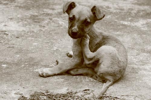O controle de pulgas nos animais - Petlove - O Maior Petshop Online do Brasil