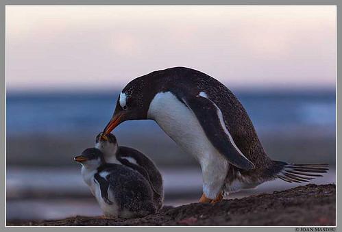 Pingüí Papua (Pygoscelis papua) amb els pollets al capvespre. Illa de Sealion. Illes Falkland. by Joan Masdeu