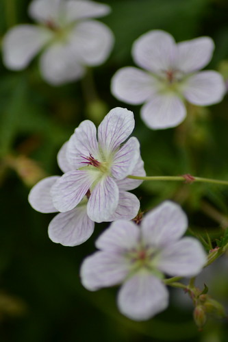GERANIUM richardsonii 'Pink Form'