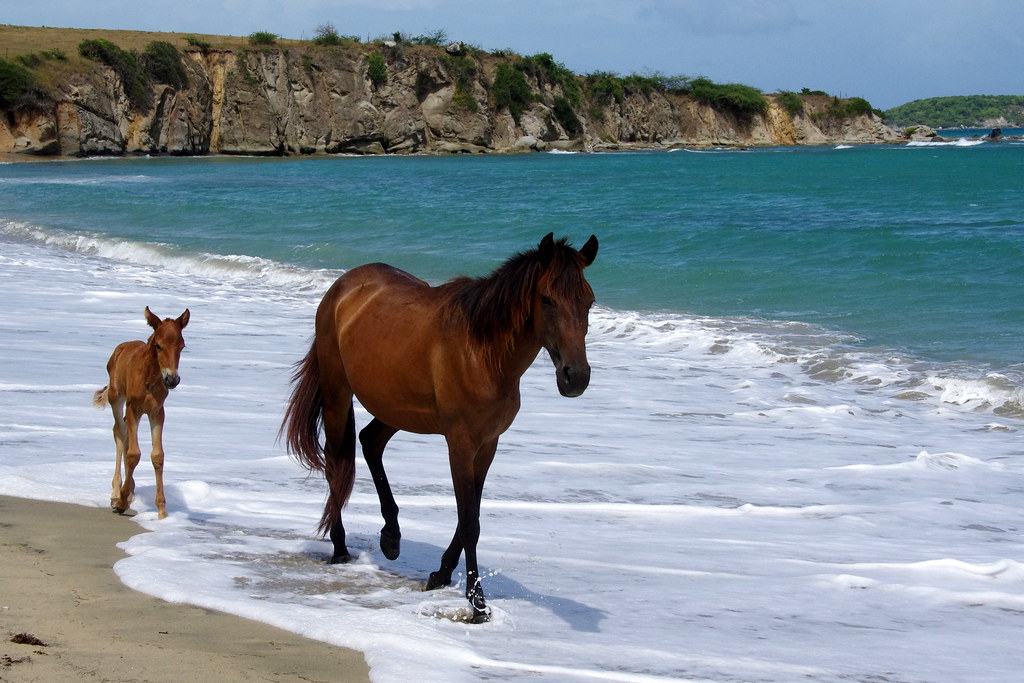 Wild Horses at Playa Negra (Black Sand Beach) - Vieques, PR