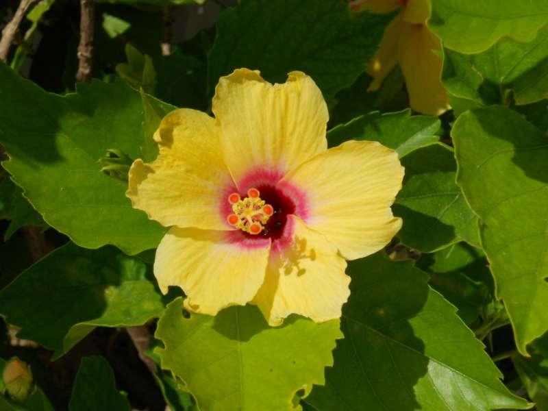 Hibiscus rosa sinensis 'Hula Girl' 1