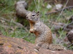 prairie dog(0.0), marmot(0.0), chipmunk(0.0), animal(1.0), squirrel(1.0), fox squirrel(1.0), rodent(1.0), nature(1.0), fauna(1.0), wildlife(1.0),